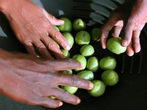la récolte du karité