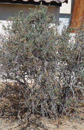 388px-Joshua_Tree_National_Park_-_Jojoba_(Simmondsia_chinensis)